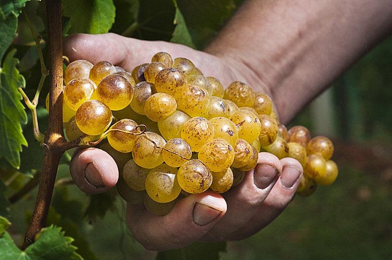 Rumeni muskat grozd v roki, trgatev vina Šturm